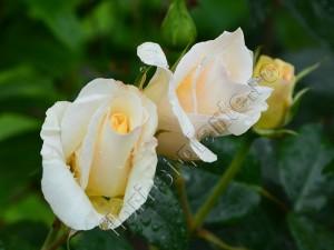 Trandafir 19