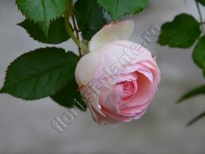 Trandafir Ina 6