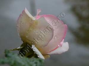 Trandafir Ina 8