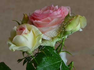 Trandafir Ina 9