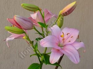 Crin roz Doina 2