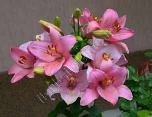 Crin roz Doina 3