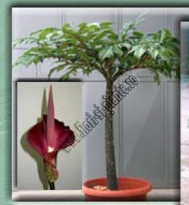 Amorhophallus konjac compus