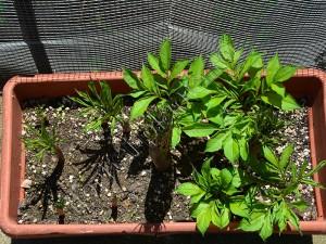 Amorhophallus konjac pomi 1