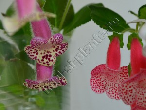 Kohleria Luci's Dots on Cherry VH's Eivor 2