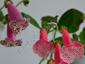 Kohleria Luci's Dots on Cherry VH's Ervin 1