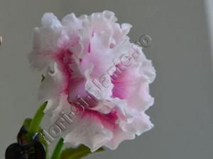 Gloxinia_mini roz  degrade involt 18