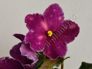 Saintpaulia Cherries 'n' Cream 16