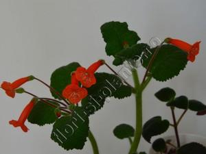 Sinningia Eumorpha x Florianopolis 10