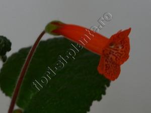 Sinningia Eumorpha x Florianopolis 11