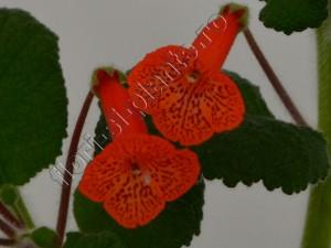 Sinningia Eumorpha x Florianopolis 12