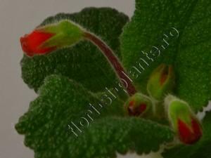 Sinningia Eumorpha x Florianopolis 6