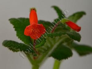 Sinningia Eumorpha x Florianopolis 7