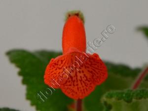 Sinningia Eumorpha x Florianopolis 8