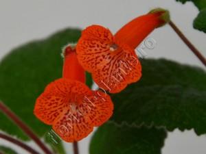 Sinningia Eumorpha x Florianopolis 9
