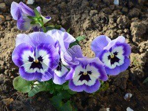 Viola panseluta 3
