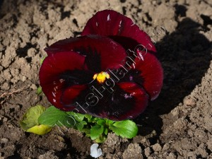 Viola panseluta 4