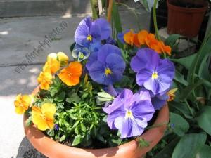 Viola panseluta2