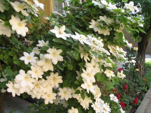 Clematita Madame le coultre 3