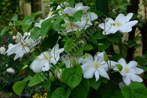 Clematita Madame le coultre 5