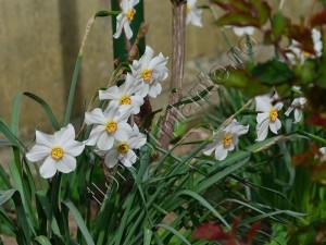 Narcisa alba 4