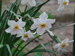 Narcisa alba 5