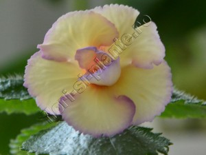 Achimenes Lemon Orchard 9