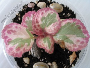 Episcia Pink Shimmer Valley 3