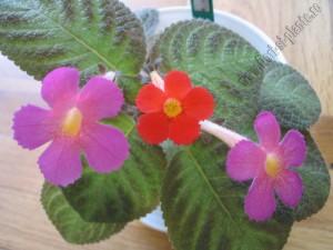 Episcia comp flori PP O 1