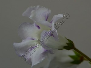 Gloxinia Sweet cream 12
