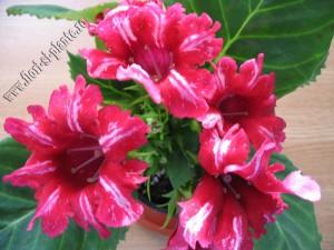 Gloxinia rosu dungulite 3