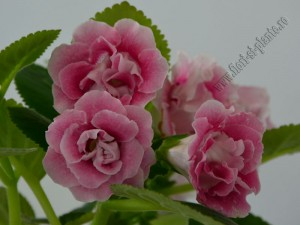 Gloxinia_mini roz degrade involt 12