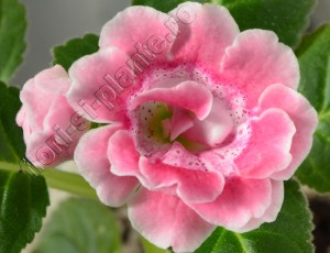 Gloxinia_mini roz degrade involt 13