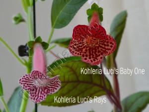 Kohleria Luci's Rays si Baby One