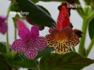 Kohleria Yf's Emma si Rongo 2