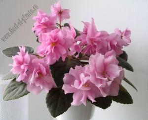 Saintpaulia Rose Marie 12