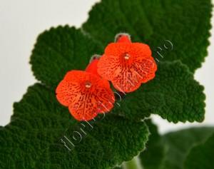 Sinningia Eumorpha x Florianopolis 13
